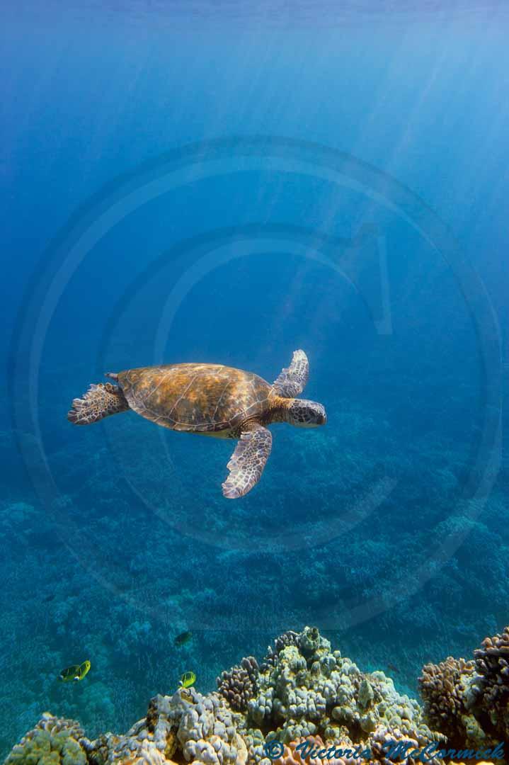 turtle fine art photo